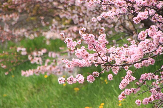日本一遅く咲く「チシマザクラ」。国後島から根室にやってきた