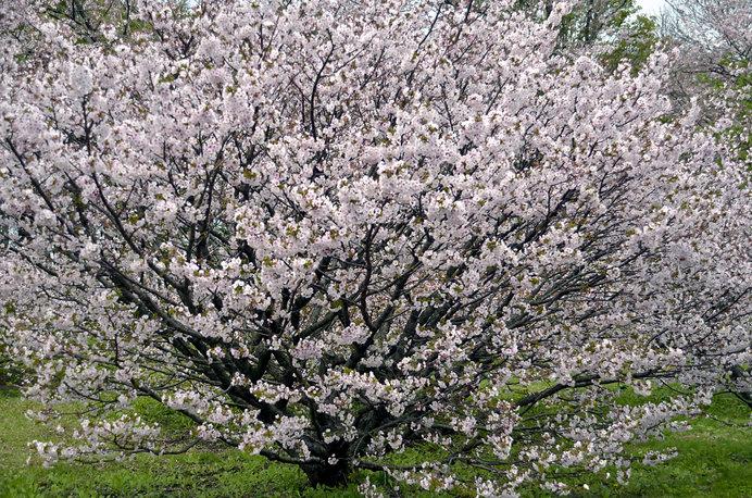 お花見をするときは木の横で♪
