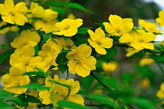 今見頃の山吹(やまぶき)。春のきらめきを表す黄金色の花にもう出会いましたか?