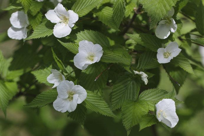 白山吹という白い花をつける山吹もあります