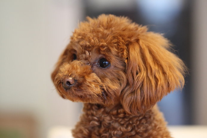 垂れ耳の犬種は、湿度が高くなると耳のなかで細菌が繁殖しやすい!?