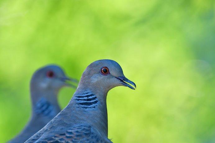 斑鳩はなぜ「いかるが」なのか?古代ミステリー、七十二候「霜止出苗(しもやみてなえいずる)」