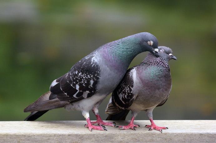 おなじみの鳩といえば…