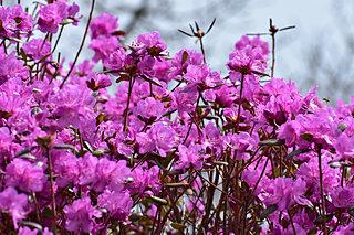 桜の前に咲く「エゾムラサキツツジ」。北見で28万本の大群落!!