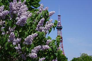 ライラックが見ごろ!! 新緑まぶしい北海道に初夏を告げる花