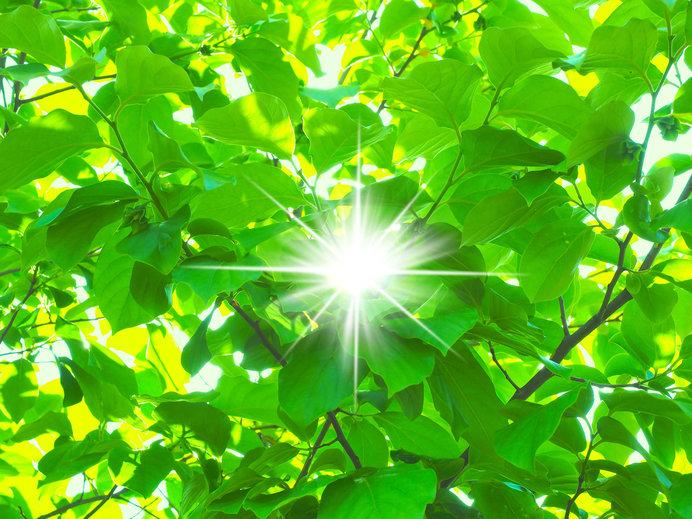 柿若葉の新樹光