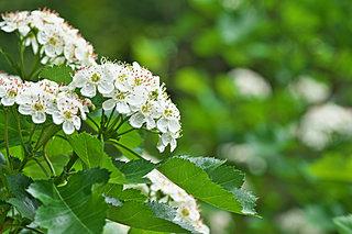 今が見頃の白い花!爽やかな5月に「希望」の花言葉をもつこの花は?