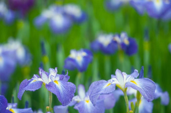 花びらのもとの方に黄色があれば、ハナショウブ