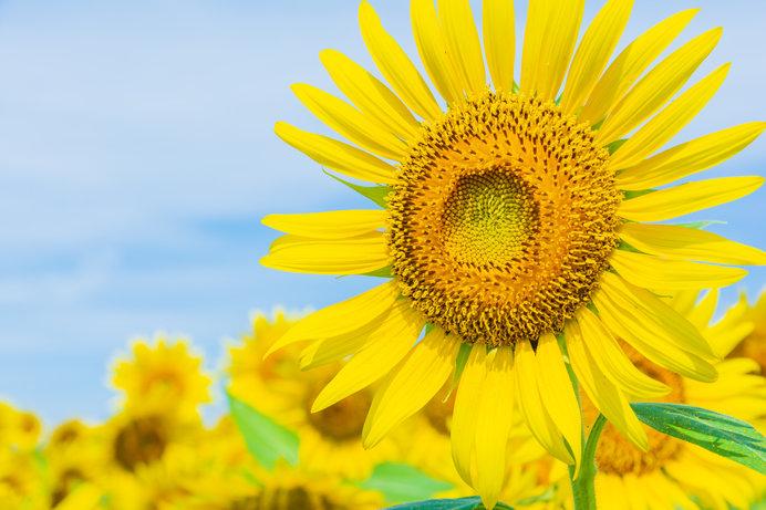 夏の花の代名詞といえば「ヒマワリ」