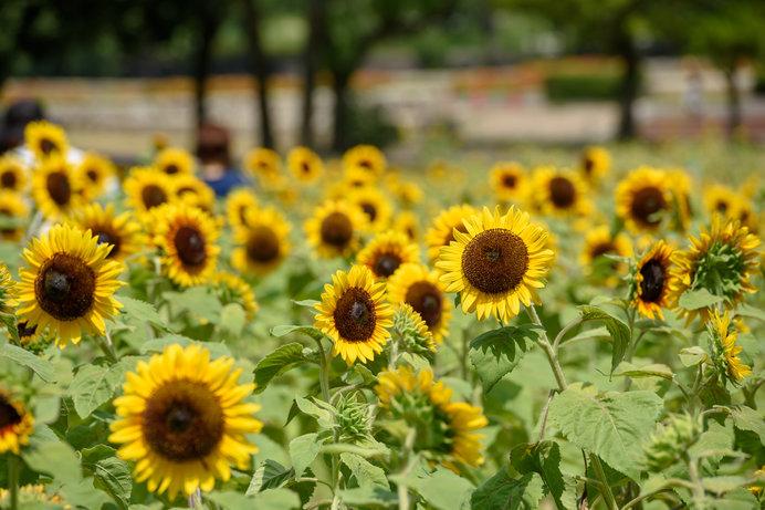 太陽の塔で有名な「万博記念公園」のヒマワリ畑