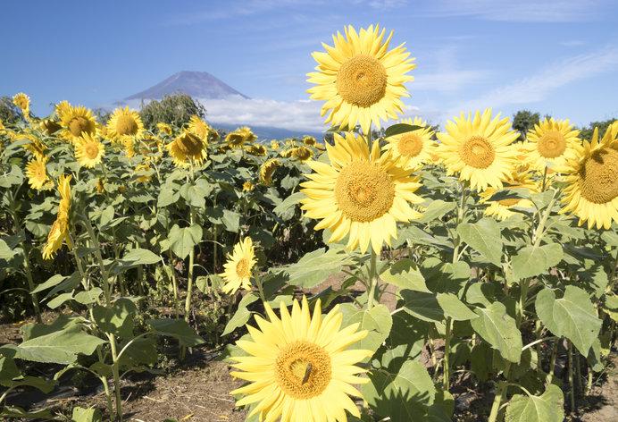 大輪の黄色のヒマワリの花言葉はユニークです!