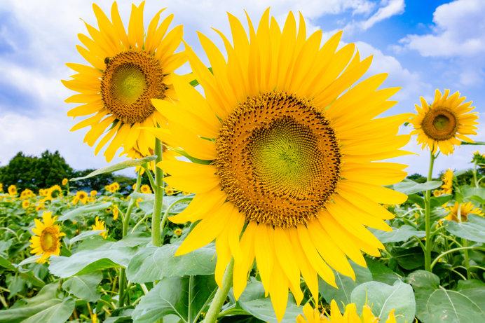 ヒマワリが市花に認定されている座間市の「座間市ひまわり畑」