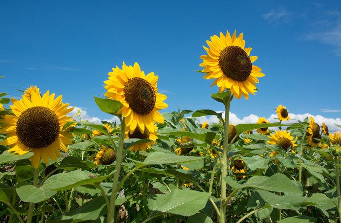 太陽の下で元気いっぱいに咲くヒマワリ。「長井海の手公園ソレイユの丘」