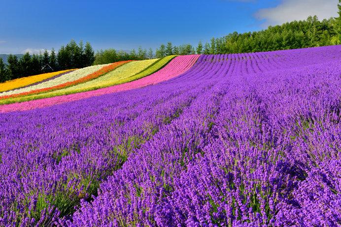 富良野のラベンダーを見に行こう!! 紫の丘はこの時期だけ
