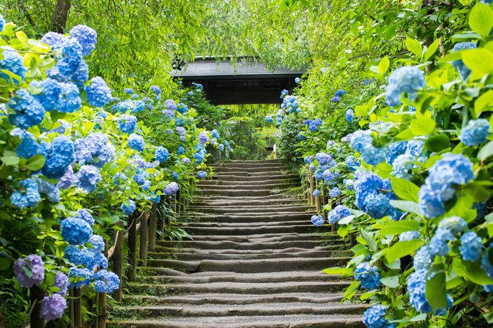 鎌倉 明月院山門のアジサイ