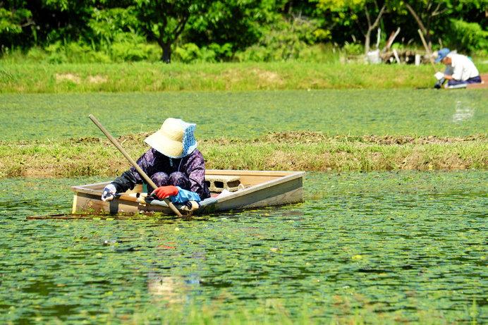 小舟で行うじゅんさい摘みの様子