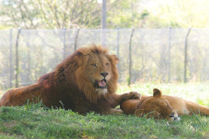 ライオンが飼育されている「姫路セントラルパーク」