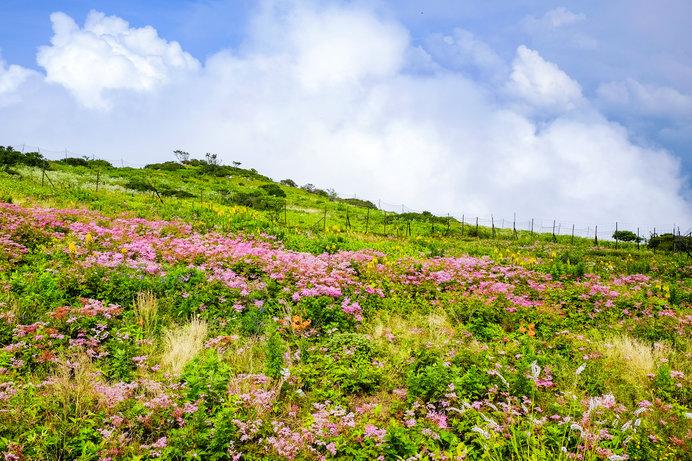 山頂のお花畑(伊吹山)