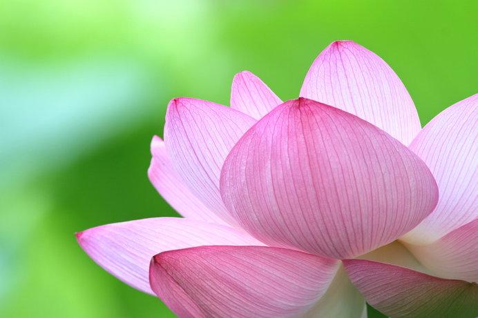 陽に透ける蓮の花