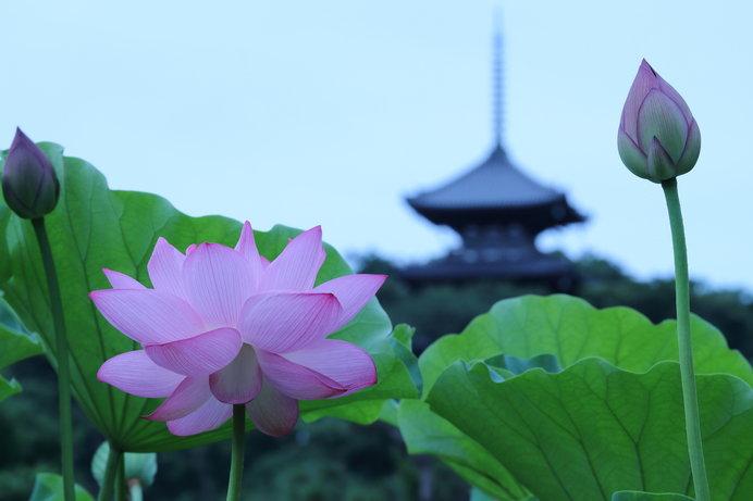 五重塔を背景に早朝の蓮池