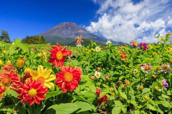 「天空のダリア祭り」は、3万株のダリアや16万本のコスモス、30万本のマリーゴールドが咲き誇る花の祭典!
