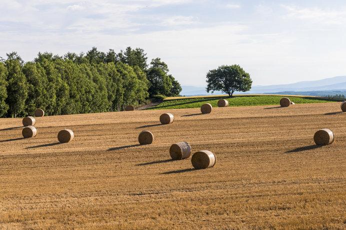 北海道の丘に「麦わらロール」がコロコロ♪
