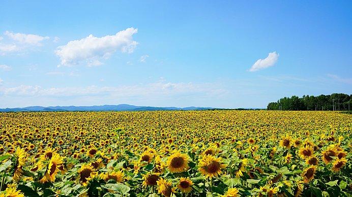 網走郡大空町/10月下旬まで咲いているのが魅力