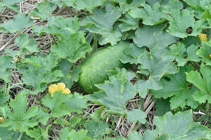 楕円で早生の品種の冬瓜には白粉がでません