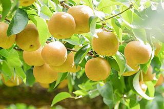 梨の季節がやってきた!…あの品種はゴミ捨て場から生まれた?