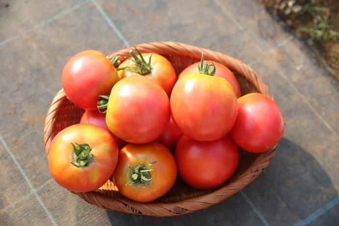 昔のトマトはすっぱかった。嫌いな野菜の常連だった