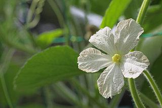 人類始原の伴侶、ヒョウタンの美しい五弁花がひっそりと夕闇に咲く時期です