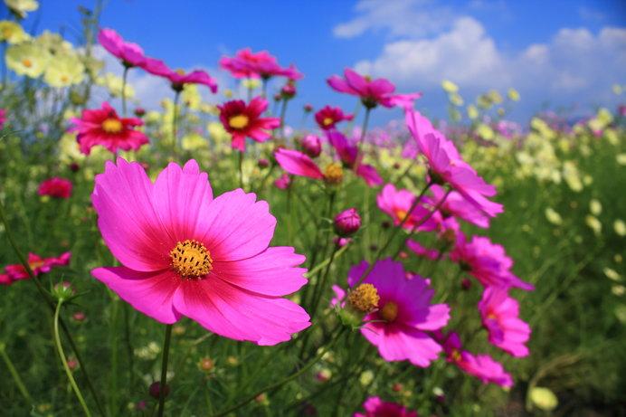 今年開園20周年を迎える「夢コスモス園」は9月21日~10月27日に開園、記念イベントも