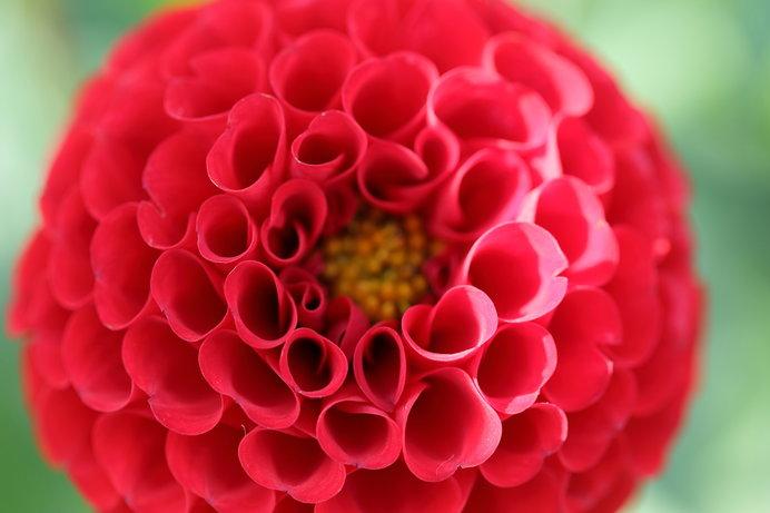 花径5~7cmの真っ赤な花がポンポン咲く「アリス」も人気の品種
