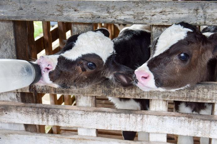 一生懸命ミルクを飲むかわいい仔牛たち!(画像はイメージです)