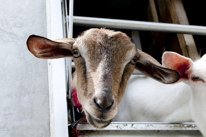 東京でヤギとふれあうなんて素敵ですね!(画像はイメージです)