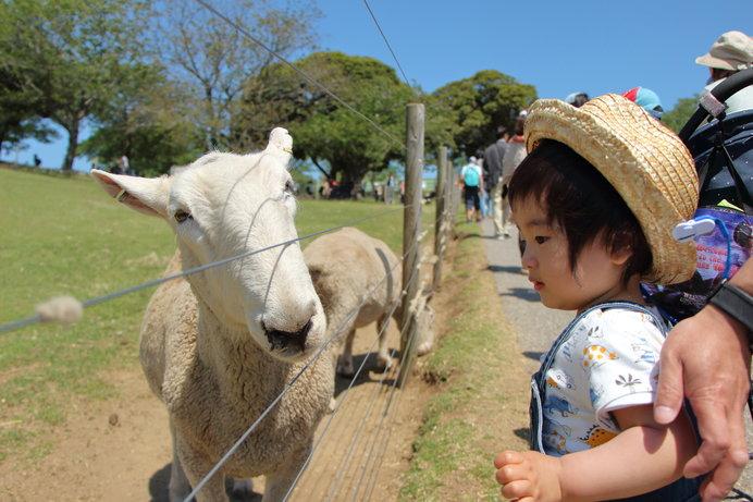 人懐っこさ全開の羊(画像はイメージ)