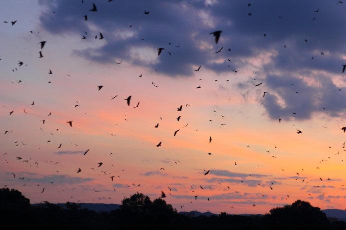 秋に南に帰るツバメの群れ