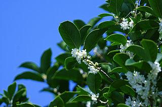秋の香りをリレーする~木犀の花たちに癒されたい!