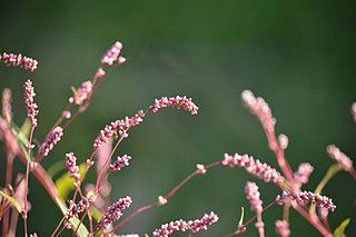 二十四節気「秋分」。秋の野辺・水辺はタデ科の花盛り
