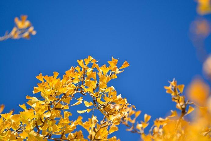 紅葉といえば……銀杏やいろはもみじが思い浮かびますね