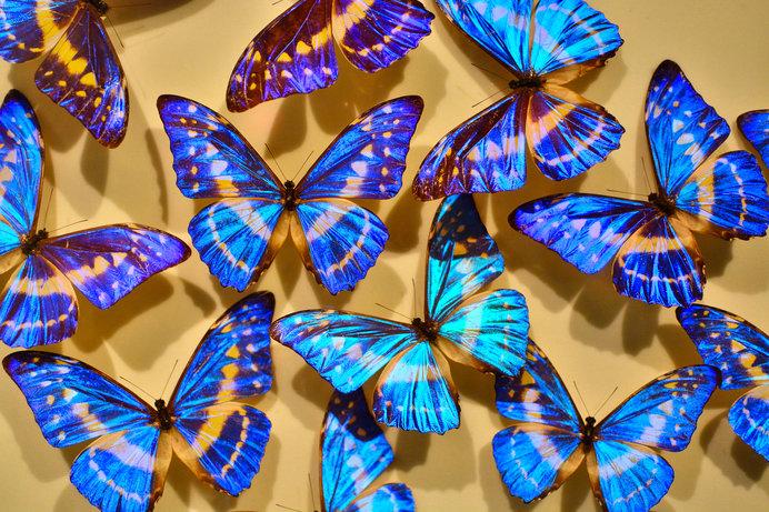 展示されている世界の蝶の標本約1万4000頭の中には、希少種や世界最大・最小の蝶も※画像はイメージ
