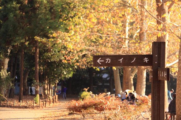 外国産樹木カイノキ