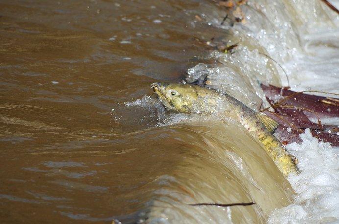 産卵のため川に戻るサケ