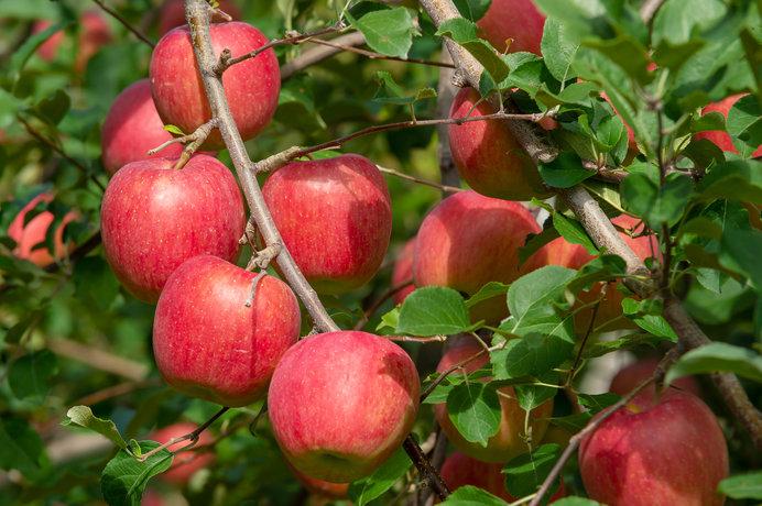 目にも鮮やかな赤いりんご(画像はイメージ)