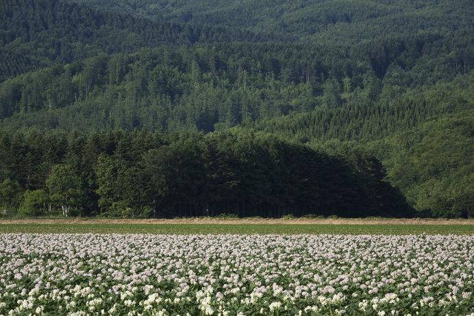 今金町のジャガイモ畑