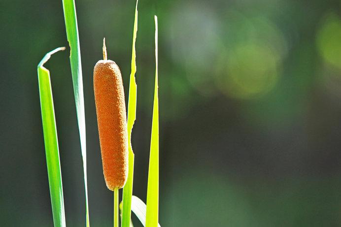 水辺にすっくりと立つ「うまそうな棒」。ユニークすぎる水沢植物、ガマの穂が成熟期です