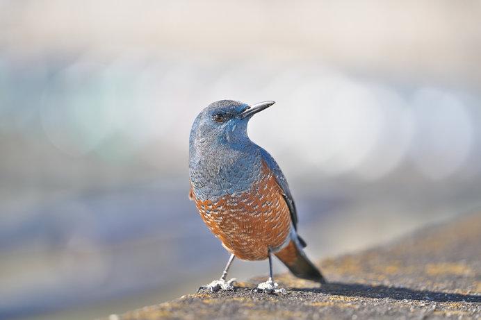 頻々と目撃される幸せの青い鳥。イソヒヨドリが都市・内陸に大進出しています