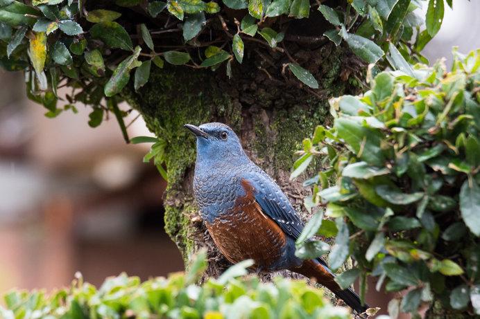 都市鳥の仲間入りしつつあるイソヒヨドリってどんな鳥?
