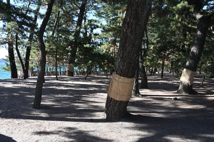 冬支度の松の木