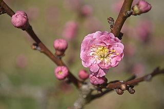 如月の花、梅。「探梅」「賞梅」「送梅」と令和の梅見を楽しもう!